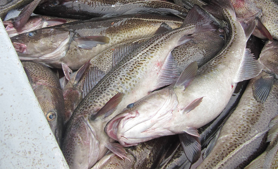 Newfoundland Panel Accepts Processor's Cod Price Proposal