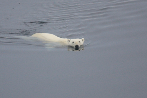 Polar bears are just one of the kinds of Arctic wildlife crews may see.