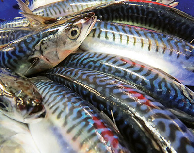 Atlantic mackerel is a focal species within the ClimeFish project.  Photo by Laura Wheeland, CFER.