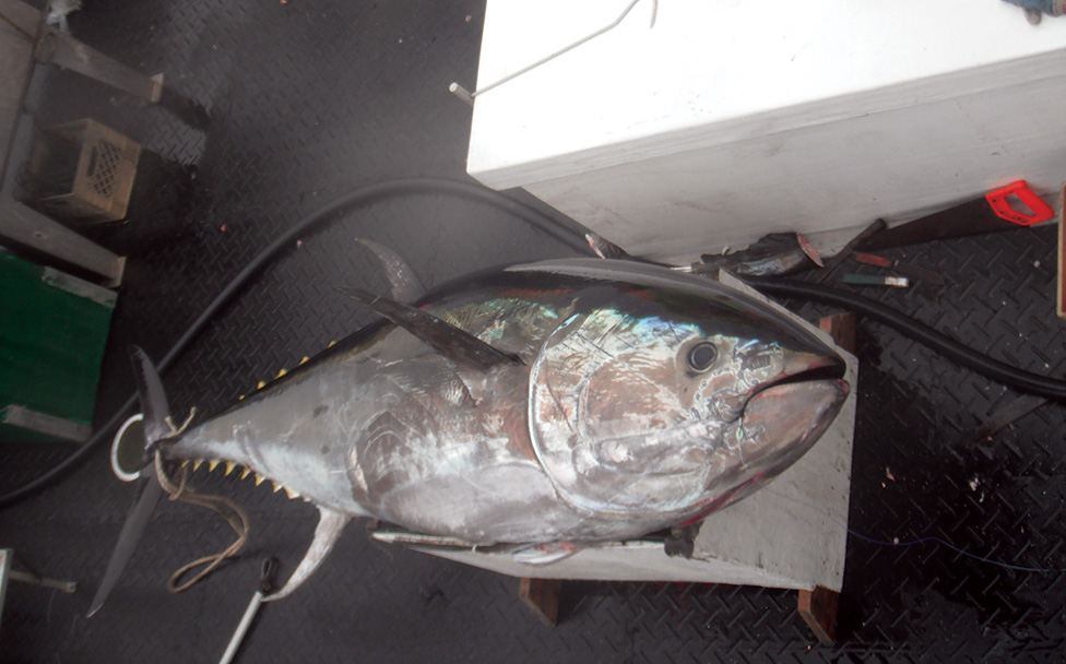 Bluefin Tuna Fishery Opening Delayed Yet Again