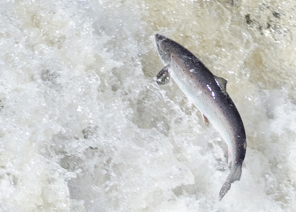 Salmon Convictions Result in Significant Fines