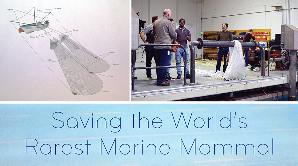 Saving the World's Rarest Marine Mammal