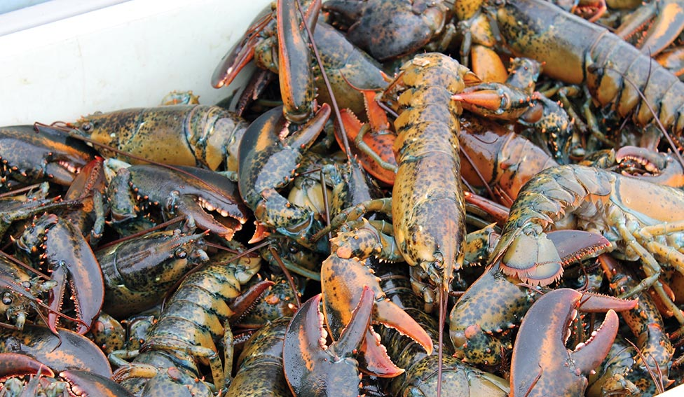 Massive Canadian Buying of Lobster Keeps Prices Steady in Maine