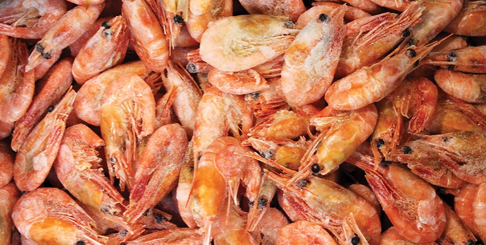 Overall Northern Shrimp Stock Showing Signs of Life